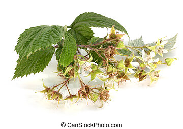 Flowers of raspberry with leaves on a white background