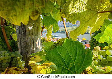 View through the Vine to the Danube River in Lower Austria
