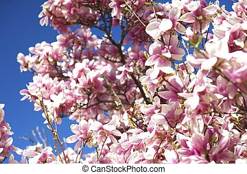 Blooming Magnolia - Magnolia X Soulangeana It is a Deciduous...