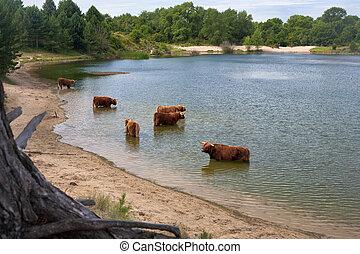scottisch highland cows - cattle of scottisch highland cows...