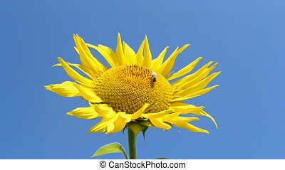 Sunflower with bee on blue sky