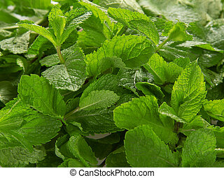 Lot of fresh spearmint leaves - Texture from lot of fresh...