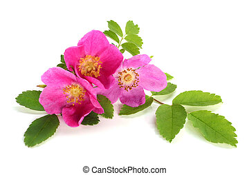 Flowers of pink dog rose with leaves on a white background