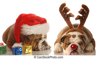 santa and rudolph dogs - bulldogs dressed up as santa and...