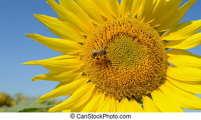 Sunflower closeup, bee, insects