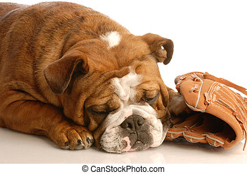 sports hound - english bulldog sleeping with baseball and...