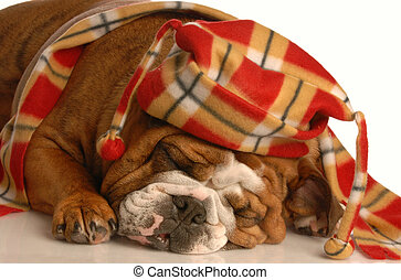 cute dog wearing hat and scarf - english bulldog dressed up...