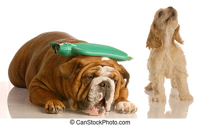 dog getting a migraine - english bulldog with hot water...