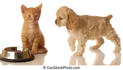 kitten and puppy eating - american cocker spaniel walking...