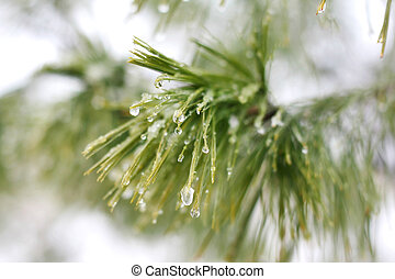 Ice Droplets on Winter White Pine Tree - small beads of...