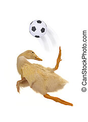 Duck playing football on a white background