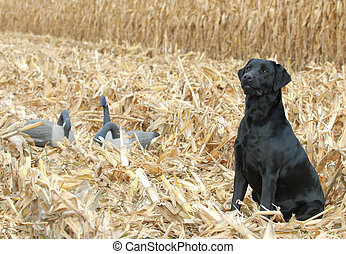 labrador retriever working - black labrador retriever in...