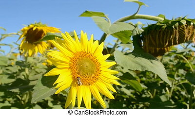 sunflower field, agriculture