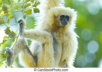Gibbon  - Body shot of a white handed Gibbon ape