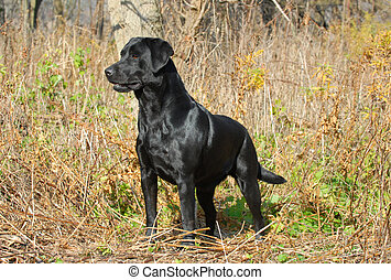 labrador retriever - black labrador retriever in the woods...