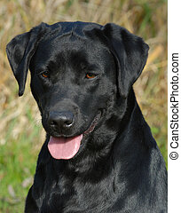 black labrador retriever - head shot of black labrador...