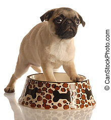 hungry puppy - pug puppy in empty food dish isolated on a...