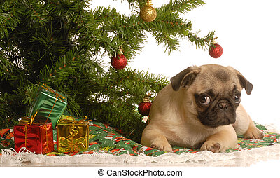 pug puppy under christmas tree - cute fawn pug puppy under...