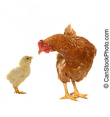 hens on a white background...