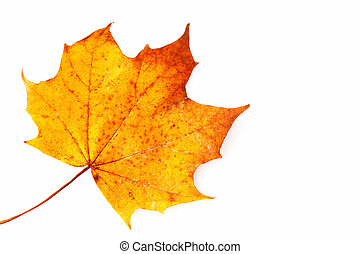 Sycamore leaf on a white background