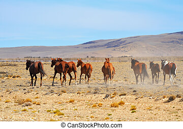 The bay mustangs galloping in the Patagonian plains - The...