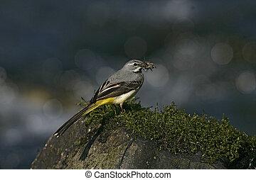 Grey wagtail, Motacilla cinerea, single male on rock, Wales