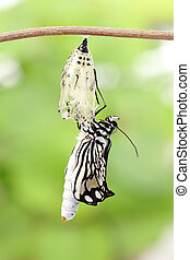 butterfly change form chrysalis - amazing moment about...