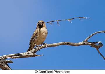 Sociable weaver sitting on a dry branch with a piece of grass