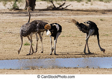 Group of ostriches at a waterhole in the dry desert looking...
