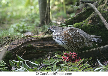 Hazel grouse, Bonasa bonasia, single male on ground, Germany