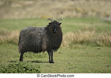 Hebridean black sheep, single sheep on Coll, Hebrides,...