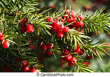 Yew branch with berries - Yes branch with red berries in...