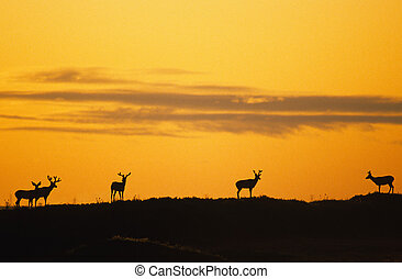 Mule Deer in Sunrise - a group of mule deer bucks in velvet...