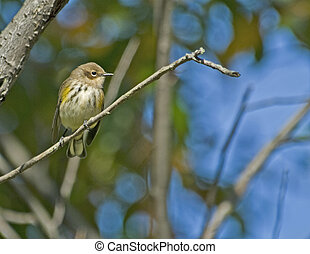 Female Yellow-rumped Warbler - Female Yellow-rumped warbler...