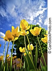 Tall Yellow Tulips - Tall Yellow Blossom Tulips - Wide Angle...