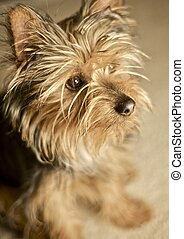 Sweet Doggie - Little Silky Terrier Puppie