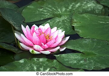 Pink Lily - Pink Water Lily on the Lake Surface. Large Green...