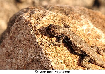Sagebrush Lizard - Sceloporus graciosus. Colorado USA
