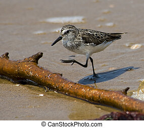 Semipalmated Sandpiper stepping over branch at waters edge