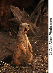 Suricate - Single Suricate Watching Around. Vertical Photo