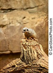 Suricate - The Suricate or Meerkat is a Small Diurnal...