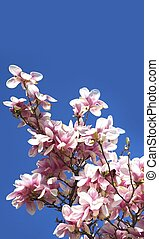 Magnolia Brench - Flowering Magnolia Branches on Clear Blue...