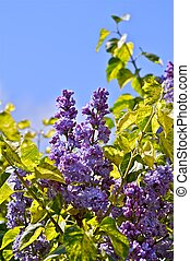 Lilac - Syringa Flowers. Syringa Vulgaris Shrub in Flower....