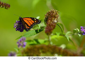 Green Meadows with Monarch Butterfly on the Plant Horizontal...