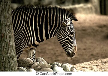 African Zebra in the Lincoln Park Zoo.