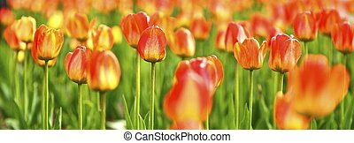 Tulips Panoramic Photo. The Tulip is a Perennial, Bulbous...