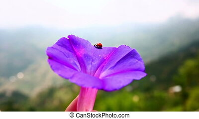 Close-up shot of ladybird on pink flower - Close-up shot of...