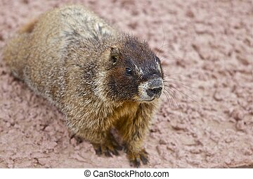 Whistle Pig - Belied Marmot Colorado Wildlife Rocky...