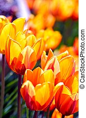 Blossom Tulips Closeup - Red-Orange Blossom Tulips Closeup....