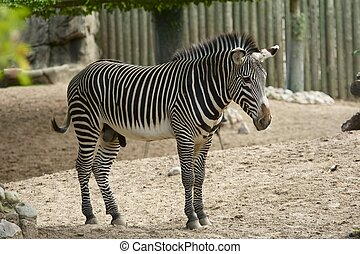 Zebra is African Equid Horse Family Best Known For Their...